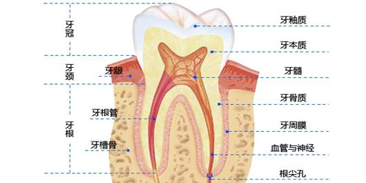 牙齿的基本构造
